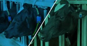 ovratnice za krave, plodnost goveda,zdravje krav, scr, sensetime