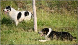 naše živali, border collie, delovni psi, psi za delo z ovcami, border koli, šolanje ovčarskih psov, šola za pse