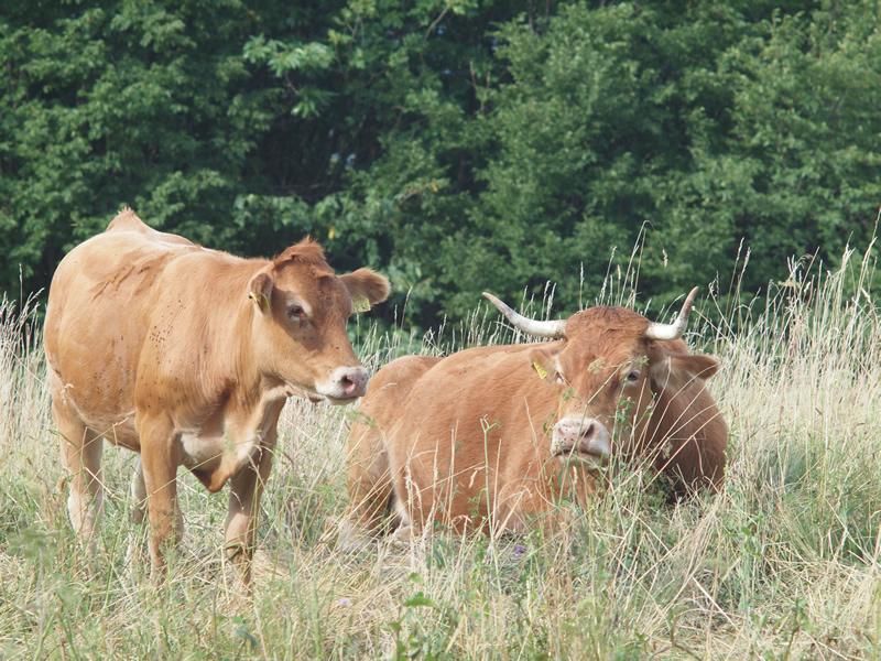 naše živali, govedo limousin, govedorejci, krave na pašniku, paša goveda, krave na paši, teleta s kravo, bric.si