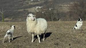 naše živali, belokranjska pramenka, ovčereja, paša ovc, ovca na pašniku, jagnje in ovca, jagenjček