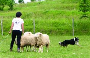 naše živali, jezersko solčavska ovca, jezerka, oplemenjena jezersko-solčavska ovca, ovce na paši, delo s psom in ovcami, šolanje ovčarskih psov, neža bric