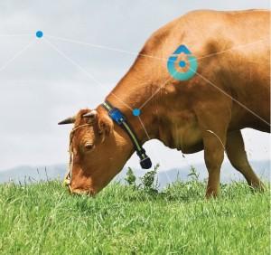 krave dojilje, pametne ovratnice, spremljanje plodnost krav, scr