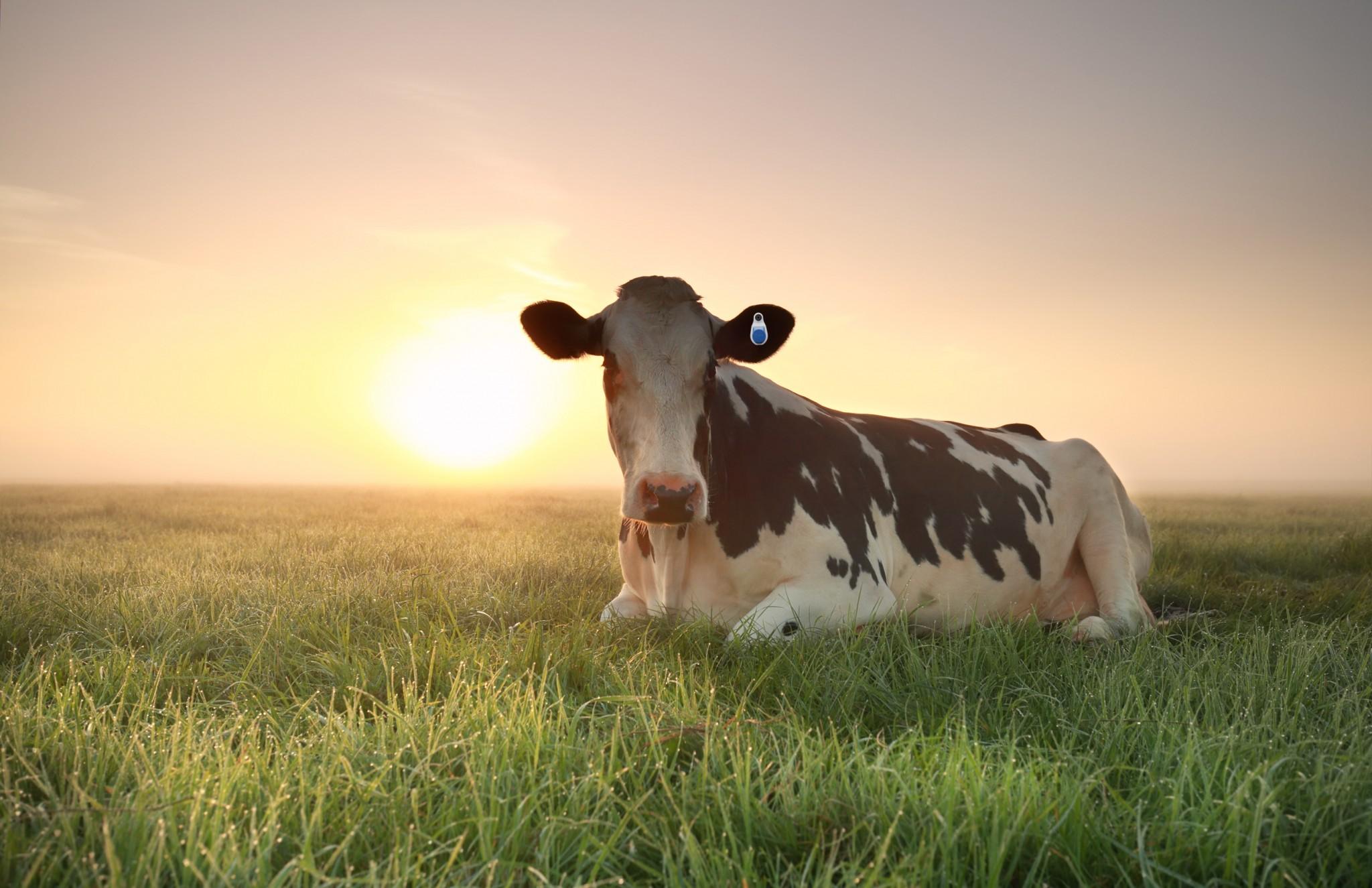 sensehub za krave molznice